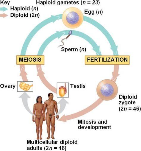 Haploid biology definition, meaning online encyclopedia jpg 558x598